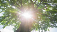 Sun Rays through Banyan Tree Top Stock Footage