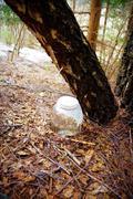 Drop birch juice. water of birch sap Stock Photos