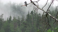 Belted Kingfisher, foggy forest Stock Footage