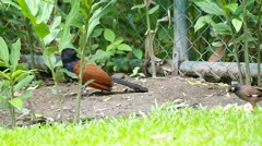 Crow pheasant resting on the ground Stock Footage