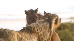 Icelandic horses take care of each other - stock footage