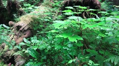 Alaskan Rain Forest understory Stock Footage
