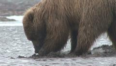 Brown Bear Digs in Sand Stock Footage