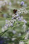 Honey bee (Apis mellifera), Lavender blossom - stock photo