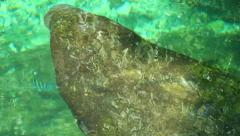 Manatee swim in the pure sea water. Mexico Stock Footage