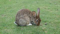 Bunny in the field eating grass and relaxing 4K 2160p UltraHD footage - Rabbi Stock Footage
