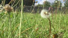 Dandelion Seeds Being Blown Off In The Wind Stock Footage
