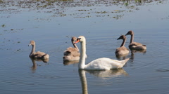 Swan family on the lake - stock footage