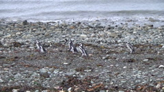 Group Of penguin run on the rookery Stock Footage
