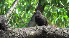 Male of Common blackbird (Turdus merula) in a garden. Stock Footage