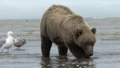 Brown Bear Works For Clam - stock footage
