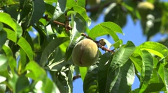 Green ripening almond fruit on a tree. Stock Footage