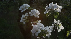 Apple blossom on a sunset Stock Footage
