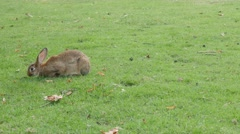 Brown and gray bunny in the field eating grass and relaxing 4K 2160p UltraHD Stock Footage
