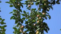 Ripe fruits on apple tree. - stock footage