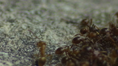 ants macro in slow motion (2x). - stock footage