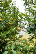 Red apple on tree branch - stock photo