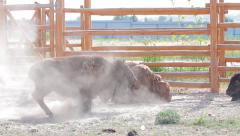 Bison at the zoo. Stock Footage