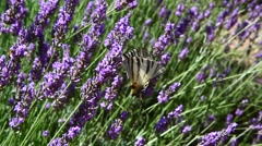 Lavender field Stock Footage