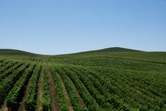 Vineyards in Napa Valley Stock Photos