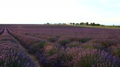Lavender field on sunset Stock Footage