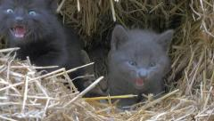 Little kittens hiding in hay and mewing 4K 2160p UltraHD footage - Different Stock Footage