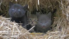 Beautiful little kittens hidding in hay and mewing 4K 2160p UltraHD footage - Stock Footage