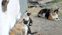 Family of feral cat Stock Footage