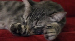 Grey Cat Napping - Stretch - stock footage
