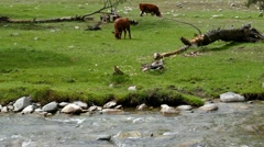 4k – Cow is grazing near river 04 Stock Footage
