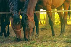 Pair of brown arabian horses grazing Stock Photos