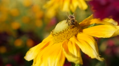 Rudbeckia hirta also known as  Irish Spring flower and bee on pistil 4K 3840X Stock Footage