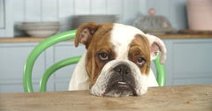 Sad Looking British Bulldog Sitting At Kitchen Table Stock Footage