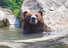 Grizzly Bear (Ursus arctos) in woodland setting Stock Photos