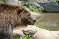 Grizzly Bear (Ursus arctos) in woodland setting - stock photo