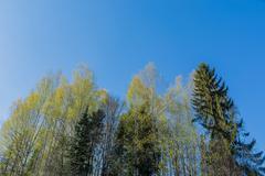 Birch grove under the blue sky Stock Photos