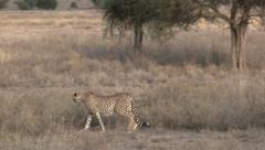 Cheetah overlooking the Serengeti plains Stock Footage