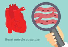 Heart muscle structure illustration. Illustration of cardiac tissue. - stock illustration