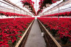 Green House full of Red Poinsettias - stock photo