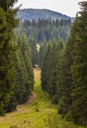 Stock Photo of pine forest in the Carpathians