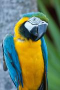 Macaw nodding his head. - stock photo