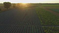 Aero Flight over the cabbage field in sunset - stock footage
