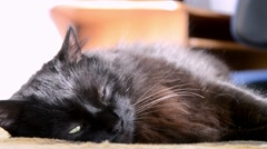 Black Chantilly Tiffany cat lying on a bed Stock Footage