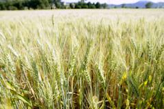 Green wheat field detail Stock Photos