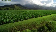 4K Aerial View of Organic Taro Farm Stock Footage
