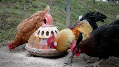 Roosters and hens feeding on the farm yard Stock Footage
