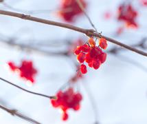 Winter mountain ash on a background of the sky in clear day - stock photo