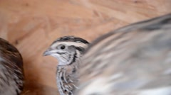 Group of Japanese quails in a wooden cage - stock footage