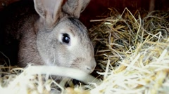 Rabbit chewing hay on the farm yard Stock Footage