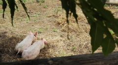 Snuggling Pigs Stock Footage